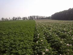 Elite of seed potatoes from Germany and Holland