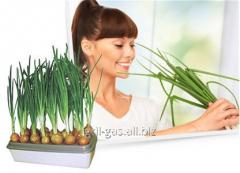 Installation for cultivation green luka-Chudo