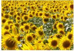 Sunflower pod