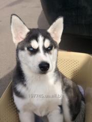 Продается девочка, чистокровный щенок сибирской