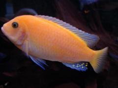 Красная зебра, рыбки, аквариумные рыбки