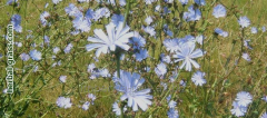 Chicory r