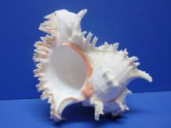 морская ракушка - мурекс 21