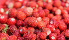 The wild strawberry is fresh