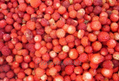 Wild strawberry berry, wholesale deliveries