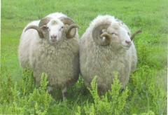 Sheep of tsigaysky breed of the Azov type
