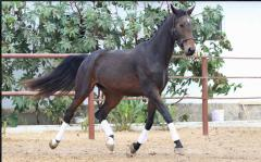 Horses breeding sale, mare Bolivia, Horse-breeding
