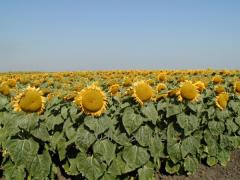 Atilla seeds of a new hybrid of sunflower