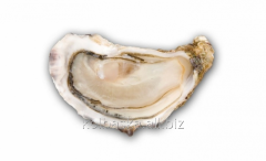 """Oyster of """"Financial de Claire"""""""