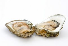 """Oyster """"Brittany"""" No. 2"""