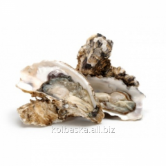 """The oyster """"is SHARP REGAL"""""""