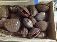 Fasolari's mollusk, 1 kg