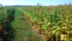 Seedling of tobacc
