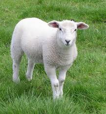 Овцы продажа