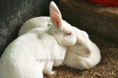 Rabbits of meat breeds, breeding, broilers,