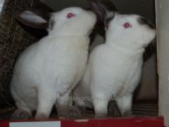 Молодняк кроликов