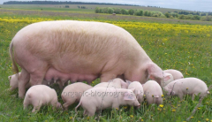 Young growth of pigs