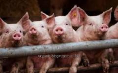 Свиньи мясных пород