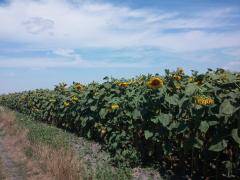 Семена подсолнечника сорт Алмаз (кондитерский)