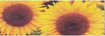 Sunflower of grade Donskoy - 60, Diamond, the