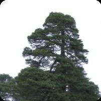 ESSENTIAL OIL OF THE PINE (Pinus sylvestris)
