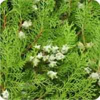 ESSENTIAL OIL OF THE CYPRESS