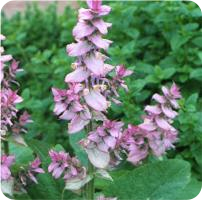 ESSENTIAL OIL of the SAGE musca