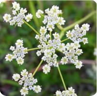 ESSENTIAL OIL OF CARAWAY SEEDS