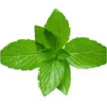 ESSENTIAL OIL OF MINT