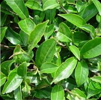 ESSENTIAL OIL of the Tea tree