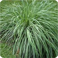 ESSENTIAL OIL OF THE CITRONELLA GRASS