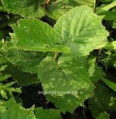 Leaf of filber