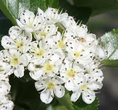 Боярышник цвет