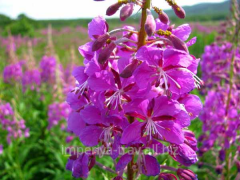 Ivan tea leaf, Willow-herb