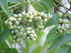 Amur cork tree, frui
