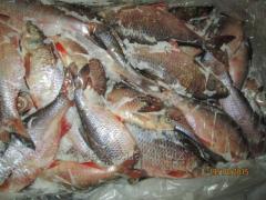 0,5-fresh-frozen small fry, fish fresh-frozen
