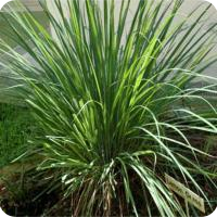 Essential oil of lemon grass