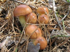 The frozen boletus mushrooms