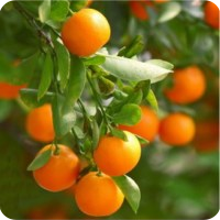 ESSENTIAL OIL OF TANGERINE