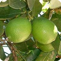 ESSENTIAL OIL OF THE LIME