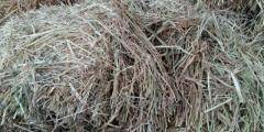 The Sudanese is fodder. Hay of a Sudanese grass.