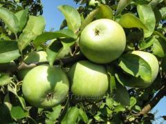 Apples Semerenko's grade for processing