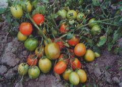 Семена томатов Лагидный элита