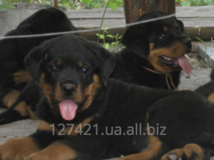 High-pedigree puppies Rottweiler