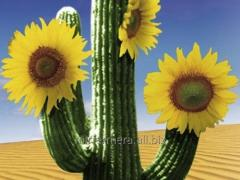 Seeds of sunflower of Kazi