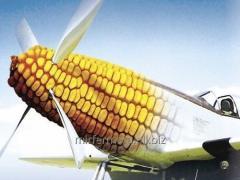 Corn seeds Arobaz FAO 250