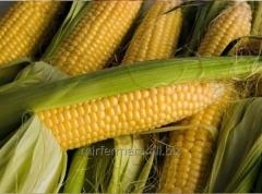 Seeds of corn of DN Demetra exclusive