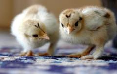 Премиксы и концентраты для всех видов животных и птицы. Купить премиксы