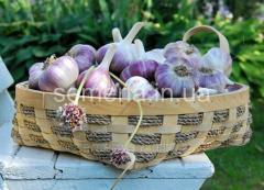 Seeds of garlic winter Germidor, Article of