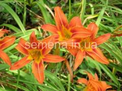 Day lily saplings Krasodnev, Article of
